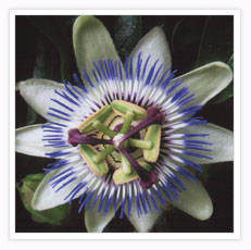 Passionflower - Click to see a larger picture